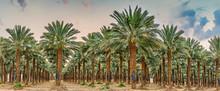 Plantation Of Date Palms - Tro...