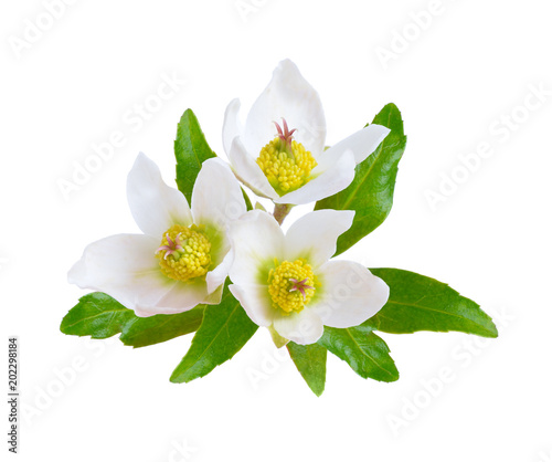 Cuadros en Lienzo Hellebore, Commonly known as hellebores or winter rose, Christmas rose and