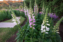 Pink And White Digitalis Or Fo...