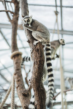 Group Of Ring-tailed Lemurs Cl...