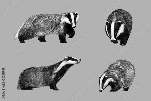 Fototapeta Black and white monochromatic freehand sketch of european badger