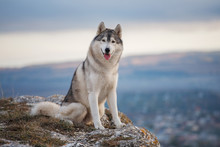 Gray Siberian Husky Sits On The Edge Of The Rock And Looks Down. A Dog On A Natural Background.