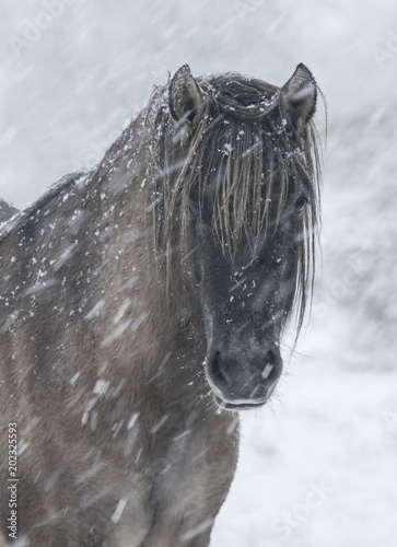 Highland Pony In The Snow Poster