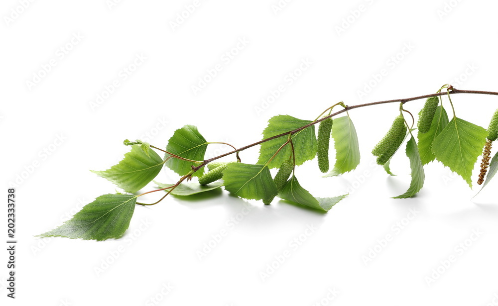 Young green birch branch with leaves isolated on white background