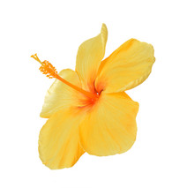 Yellow Hibiscus Isolated On Wh...