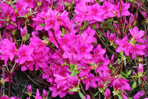 Foto op Canvas Azalea Water drops on purple flowers