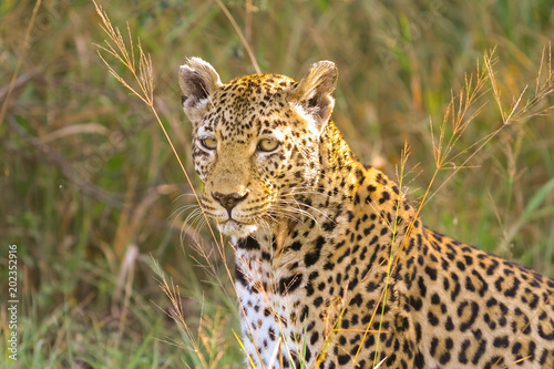 Deurstickers Luipaard Close up of an African Leopard, Camouflaged wild cat lying in the grass. Hunting prey on the Savannah. Conservation of endangered animals. Protected species of Africa