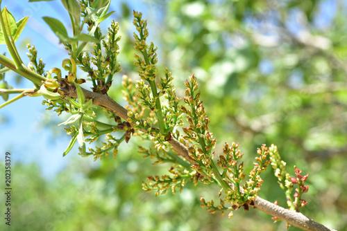 Pistachio tree bloom