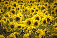 Sunflowers / A Full Frame Imag...