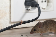 Closeup Mouse Sits Near Chewed Wire  In An Apartment Kitchen And Electrical Outlet . Inside High-rise Buildings. Fight With Mice In The Apartment. Extermination. Small DOF Focus Put Only To Wire.