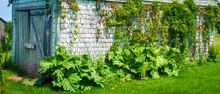 Wild Rhubarb In Prince Edward ...