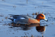 The Eurasian Wigeon, Also Know...