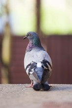 Pigeon Bird Isolated