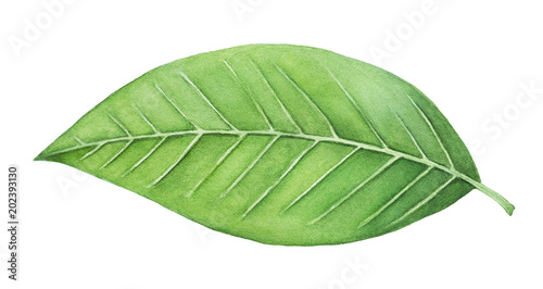 Obraz Green leaf painting. One single object, bright color, close up. Symbol of life, health, prosperity, new beginning, the renaissance of nature. Hand drawn water colour on white background, isolate. - fototapety do salonu