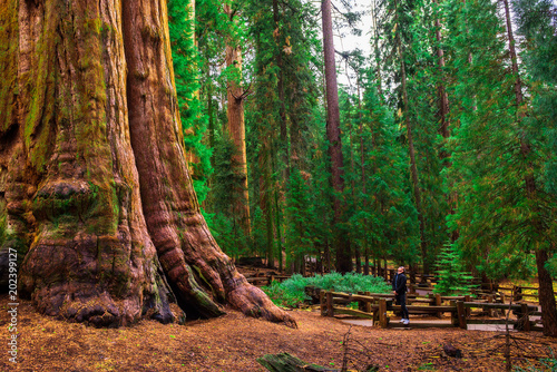 Fotomural  Tourist looks up at a giant sequoia tree