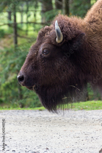 Foto op Canvas Bison Buffalos in Parc Omega (Canada)