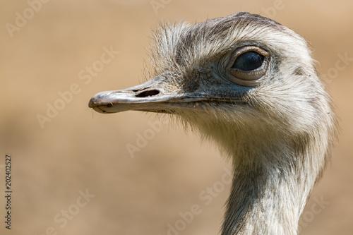 Staande foto Struisvogel Nandu closeup head shot