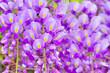 Leinwandbild Motiv 藤の花
