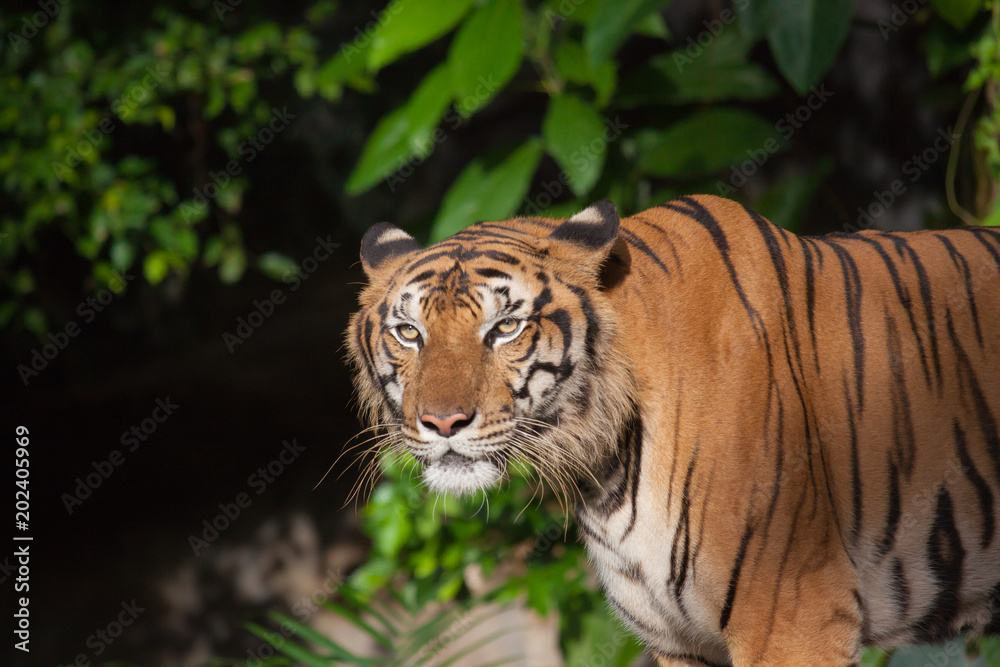 Tiger, tiger, wild, feral, the face of the tiger.
