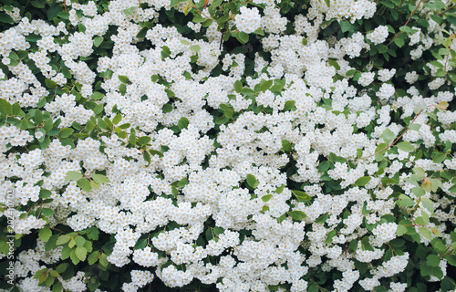 Beautiful Flowering Branch Of Bush Spirea With Green Leaves And