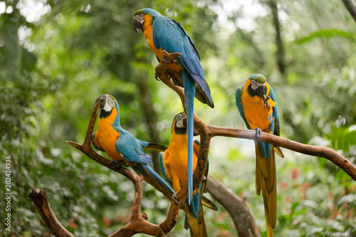 Brazilian Fauna - Macaws Wallpaper Mural