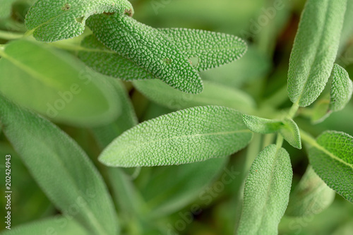 Sage plant, Sage in Kitchen garden of herbs