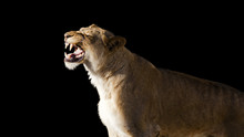 African Lion Roaring Isolated ...