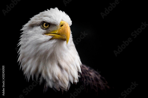 Foto auf Leinwand Adler Isolated Bald Eagle Staring Up to the Right