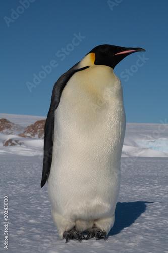 Papiers peints Pingouin Antarktika