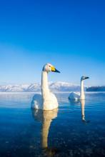 雪山と湖と白鳥