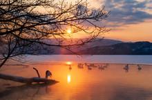 夕暮れの湖の白鳥の群れ