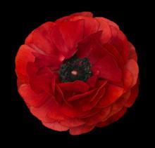 Ranunculus   Red.   Bright  Fl...