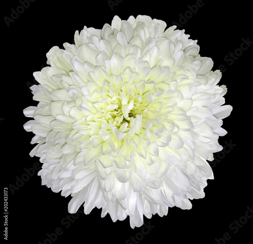 White Chrysanthemum Flower Black Isolated Background With Clipping