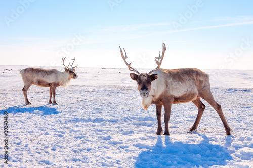 Papiers peints Arctique Reindeer in winter tundra