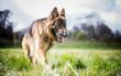 German Shepherd in the sun