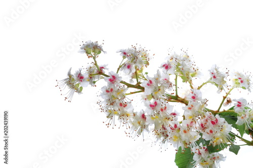Blooming Horse-chestnut in spring (Aesculus hippocastanum, Conker tree) flowers and leaves on branch isolated on white background, clipping path