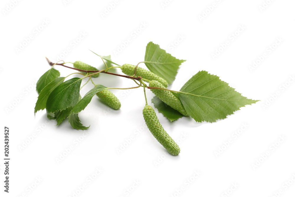 Young birch branch with green leaves isolated on white background