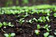 Kiełkujące młode rośliny w ogrodzie na grządce