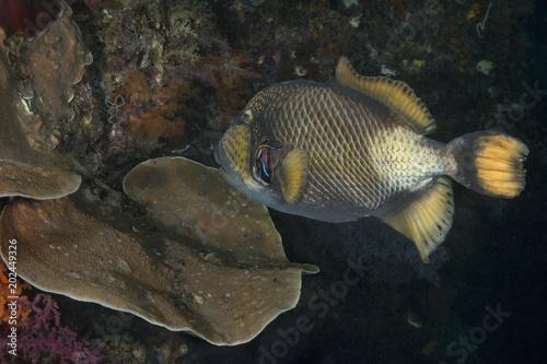 Obraz na dibondzie (fotoboard) Rogatnicowce tytanowe (Balistoides viridescens) i Wargacz wargowy Bluestreak (Labroides dimidiatus). Zdjęcie zostało zrobione w morzu Banda, Ambon, West Papua, Indonezja