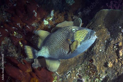 Fotomagnes Rogatnicowce tytanowe (Balistoides viridescens) i Wargacz wargowy Bluestreak (Labroides dimidiatus). Zdjęcie zostało zrobione w morzu Banda, Ambon, West Papua, Indonezja