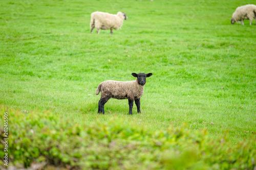 Cuadros en Lienzo Suffolk Sheep on The Green Field, Cotswold, England