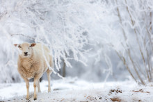 Picturesque White Winter Landscape With A Sheep In The Snow In A Forest And A Blurry Background