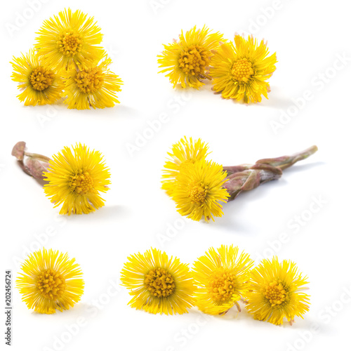 Vászonkép Closeup of a blooming coltsfoot (Tussilago farfara) spring flowers isolated on a white background