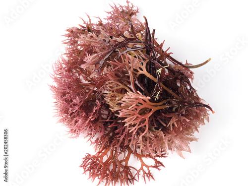 Canvastavla Gigartina Pistillata  Edible red seaweed in the family Gigartina