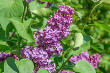 Blooming Lilac Flowers Of Syringa Vulgaris Blooming In Summer Garden