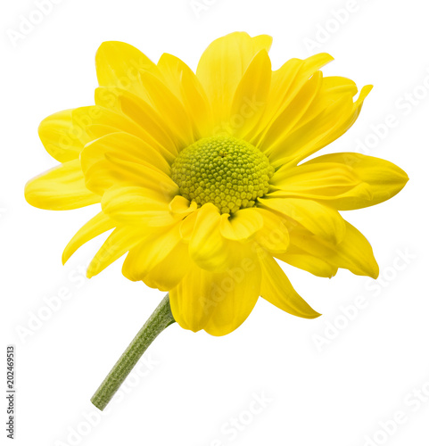 Fotobehang Madeliefjes Fresh daisy camomile isolated on white background with clipping path