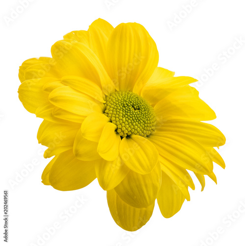 Foto op Canvas Madeliefjes Fresh daisy camomile isolated on white background with clipping path