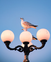 Seagull Sitting On A Lamp Post