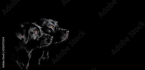 Obraz Zwei schwarze Labrador Retriever mit wunderschönen Augen im Seitenprofil vor schwarzen Hintergrund - fototapety do salonu