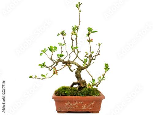 Fotobehang Bonsai Bonsai - Blüte